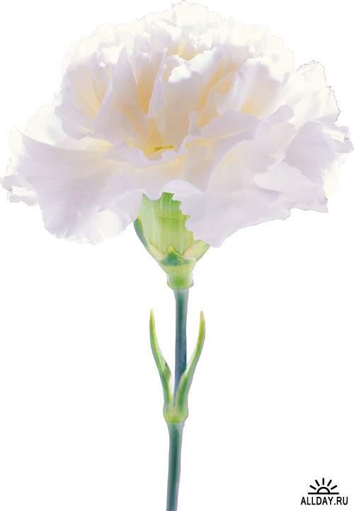 Flowers - cloves, carnations   Цветы - гвоздики