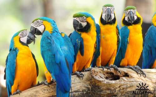 Обои с попугаями Аро для рабочего стола