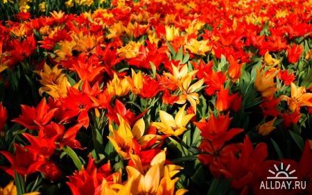 Flowers WideScreen Wallpapers #4