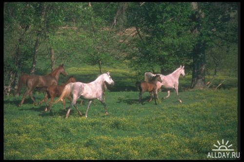 Corel Photo Libraries - COR-113 Arabian Horses
