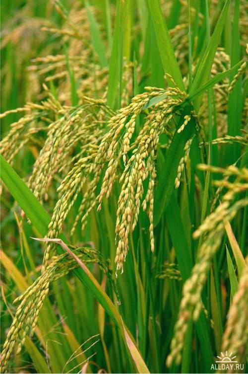 Crop, corn, ears cereal plants in field 1   Урожай, зерно, колосья злаковых растений в поле 1