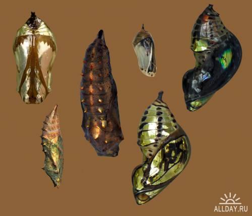 От гусеницы до бабочки / Butterflies by Jinxmim (PSD-исходник)