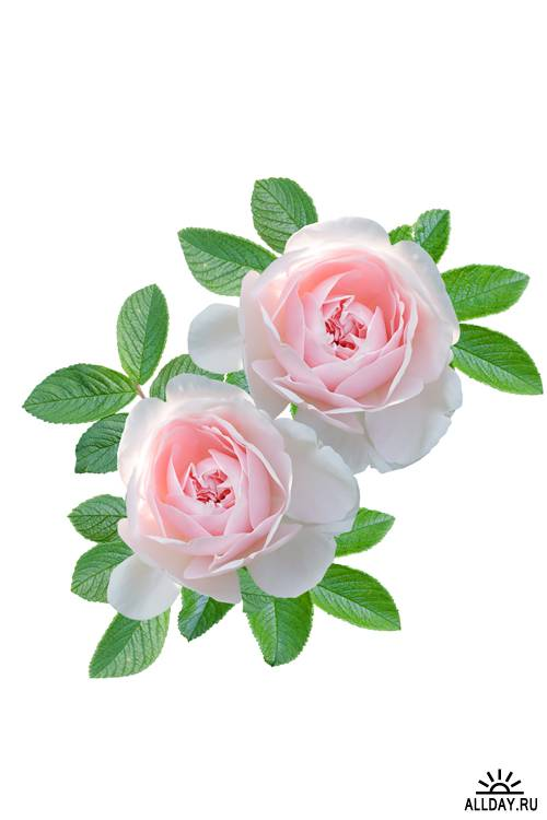 Розовые розы | Pink Roses - UHQ Stock Photo
