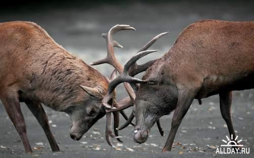 HD обои диких животных