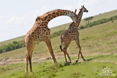 Окружающий мир через фотообъектив - Млекопитающие (Mammalia) Часть 5