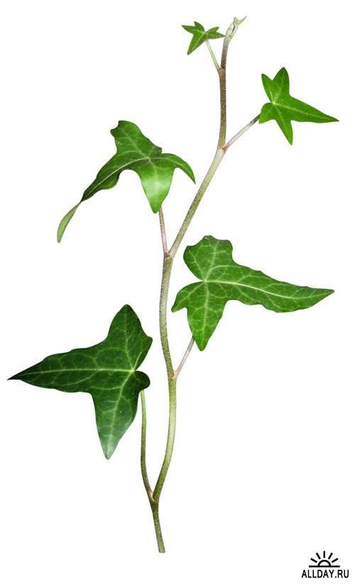 Branch with leaves and without leaves 1 | Ветка с листьями и без листьев 1 - Набор элементов для коллажей