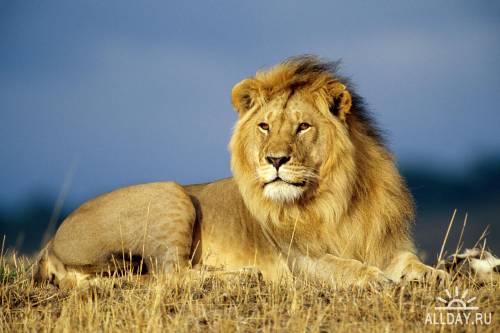 Обои: Львы