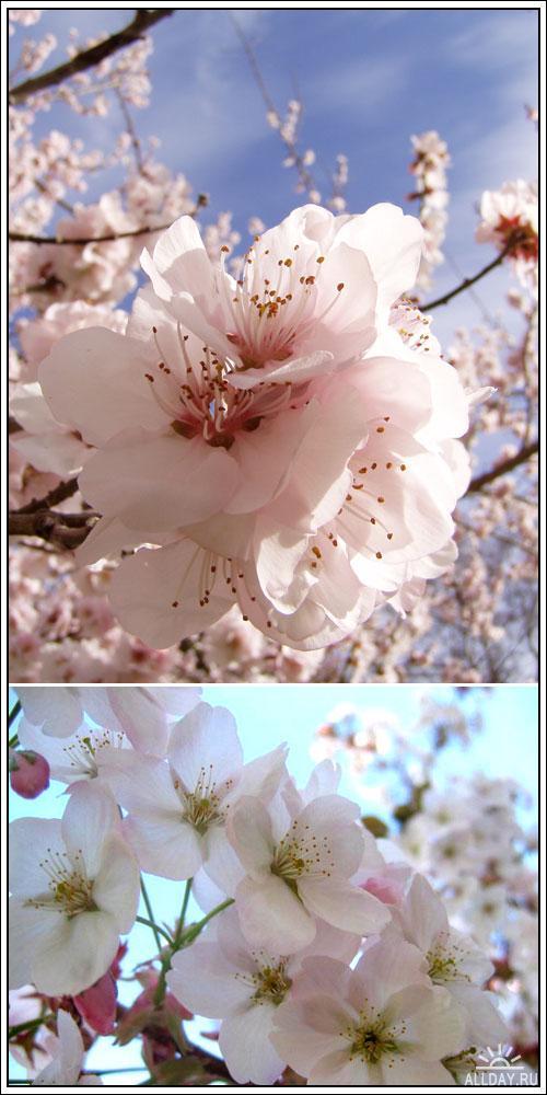 Фотоклипарт - Cherry blossom