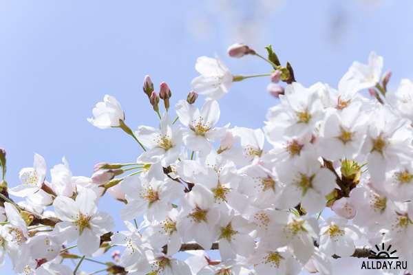 Клипарт - Цветение вишни / DAJ379 Cherry Blossoms