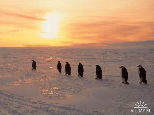 Пингвины. Pinguins