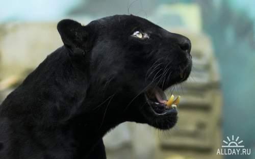 Обои с пантерами и ягуарами для рабочего стола
