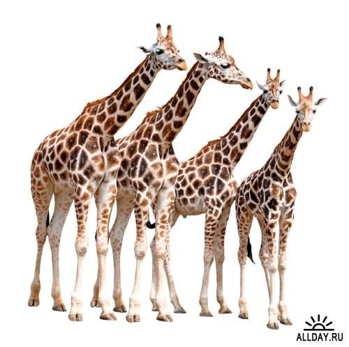 Wild Animals Isolated HQ