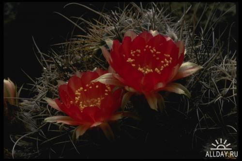 Corel Photo Libraries - COR-051 Cactus Flowers