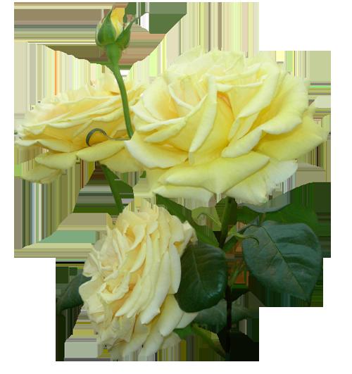 PNG Клипарт - Розы