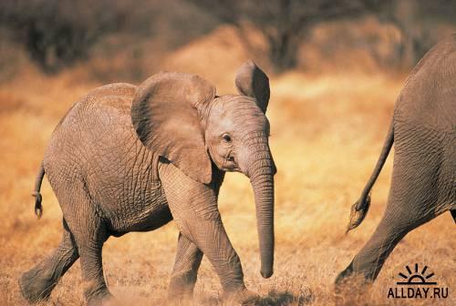 Elephant  Wikipedia