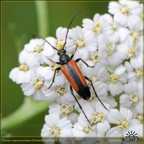 Окружающий мир через фотообъектив - Insects: Coleoptera (Насекомые: Жуки)Часть 8