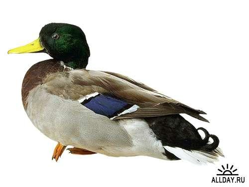 Водоплавающие птицы: Дикая утка, селезень (подборка изображений)