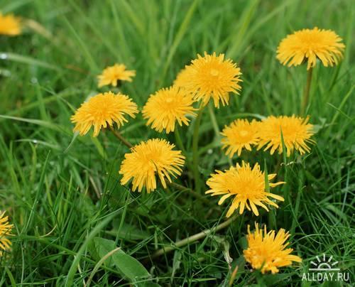 Wild Flowers & dandelions
