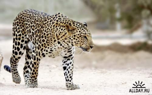 Обои с прекрасными леопардами для рабочего стола