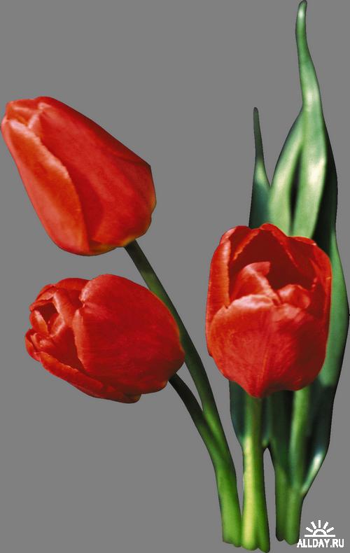Red Tulips Красные тюльпаны... png