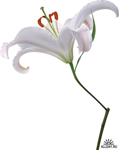 Flowers - lilies | Цветы: полевые и садовые лилии