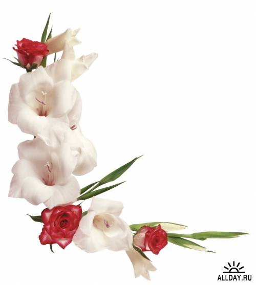 Фотосток: цветы - гладиолусы