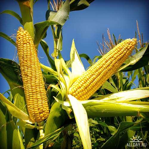 Растровый клипарт - Кукуруза