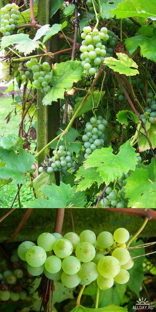 Фотоклипарт - Grapes_01