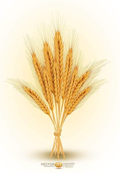 Векторный клипарт - Пшеничные колосья