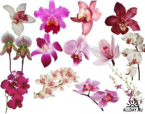 Орхидеи в PNG