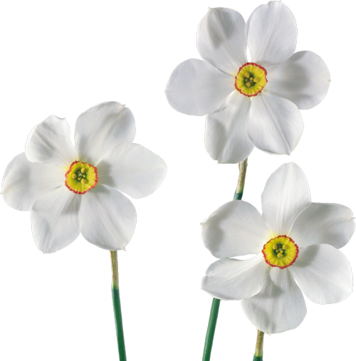 White Narcissus Нарцисс белый png