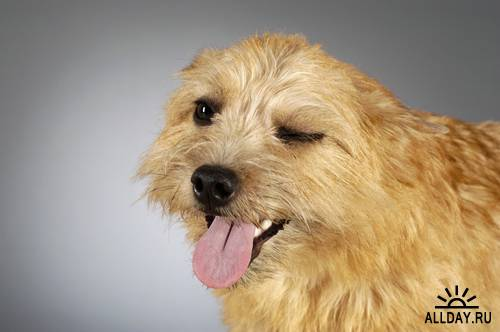 Клипарт - Собачьи эмоции / Dog Emotions (GlowImages - GWC105)