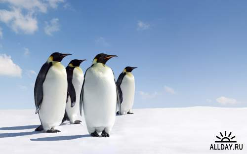 Обои с пингвинами для рабочего стола