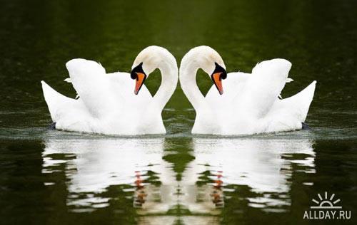Два прекрасных лебедя | Two lovely swans