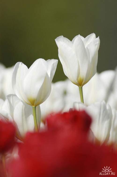 Flowers - tulips 4 | Цветы - тюльпаны 4