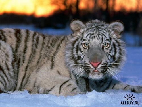 Обои Lions and Tigers 2010