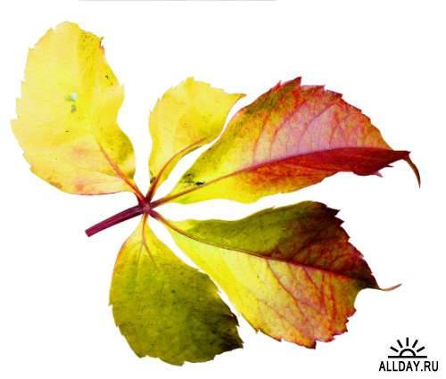 Осенние листья - набор элементов для графических работ