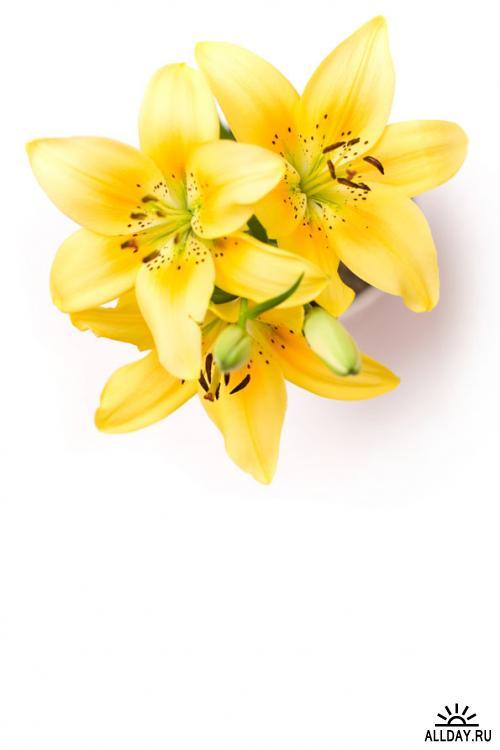 Stock Photo - Flowes | Цветы