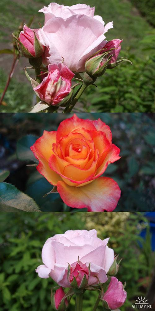 Фотоклипарт - flowers 13