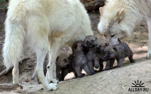 Обои с дикими волками для рабочего стола