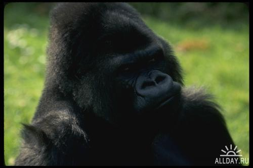 Corel Photo Libraries - COR-049 Apes