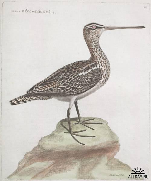 Клипарт - Art Francois Nicolas Martinet Ornithologie (1773-1792)
