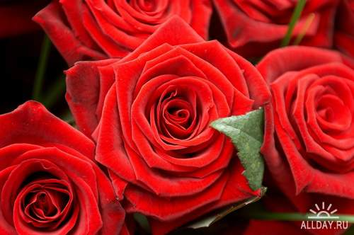 Flowers: Red and burgundy roses 5 | Цветы - красные и бордовые розы 5