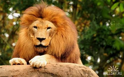 Обои с могучими львами для рабочего стола