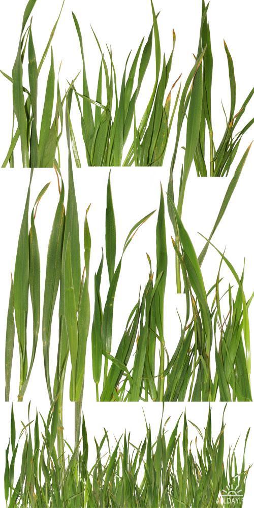 Трава на прозрачном фоне